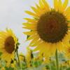 木曽三川公園の向日葵と白鳥信号場