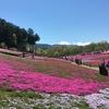 秩父、羊山公園の芝桜!GWが見頃なので行ってきた!