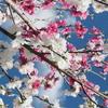 福島市の花見山公園の花々が綺麗でした!!