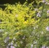 【黄金葉が美しい】プリペット レモンライムの成長記録 ~成長が遅く育てやすいおすすめの庭木!~