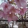 もうすぐ春ですね河津桜が咲きました