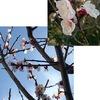 暖かな日々.桜はまだでも,我が家の庭の春の花々は真っ盛り.アンズ,ボケ,カタクリ,スミレ,スイセン,黄梅,クリスマスローズ,椿,西洋シャクナゲ,ビバーナムティヌス,ビオラ,菜の花,ムラサキハナナ.そして,春は,多くの植物にとって,芽吹きの季節でもあります.