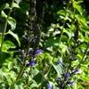 サルビア パープルマジェスティの花