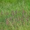 盆花(ぼんばな)のミソハギ