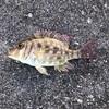 陸っぱり釣果 24種目 ハナフエフキ