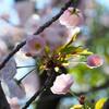 いよいよ、八重桜!! 04/13