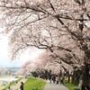 金沢へ - vol.6 - お花見 犀川緑地
