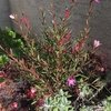 寄せ植えのサザンクロス