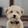 獣医師に注意を受けた子犬の育て方。生後五ヶ月目のマルプーの様子。