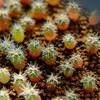 【多肉植物】ギムノカリキウム 海王丸さんの実生 7ヶ月が経過