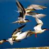 希少種ベニアジサシ、幼鳥65羽確認 三池島