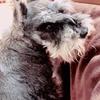 【人気の犬種】ミニチュアシュナウザー:しつけ・価格相場・子犬選び方編