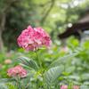 京都 深草 藤森神社 2017年 紫陽花は見頃です。