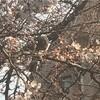 ヒヨドリが桜の花をついばんでいた