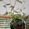 越冬準備とメルヘンの木とアカシアブルーブッシュを買いました。