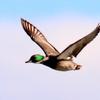 渡良瀬遊水地上空を飛ぶヨシガモ
