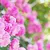 花フェスタ記念公園の花の女王のバラ