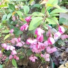 春の可愛い茶花