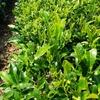 遅れ芽の摘み取りおよび草取り・野イモのツル取り