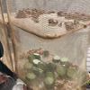胡瓜のキューちゃんを作る