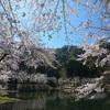 大崎ダムの桜 Ⅰ