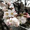 桜は咲き出したが天気は良くなかった