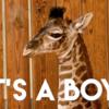 アニキンでキリンの子どもが誕生!
