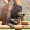 人間はボノボみたいではダメなのか?