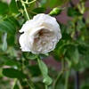 ジ・オルブライトン・ランブラーの開花 The Albrighton Rambler