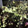 ヒュウガミズキが咲いています