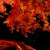 暗闇照らす赤い葉よ 光を受けて命輝く