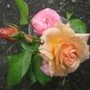 般若の独り言~杏色のバラ