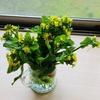 アスパラ菜とルッコラの花