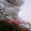 桜が咲いても一人