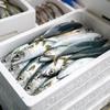 2021年6月2日 小浜漁港 お魚情報