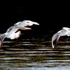JBFに間に合った手賀沼公園のユリカモメたち