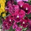 シックな花色とフリルが素敵! 絵になるスミレ「ヴィーノ」