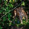 アマゾン大火災 ジャガー500頭が「生息地を失う」か「死亡」 今後増える可能性も
