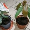 マンゴー育成化計画 (21.06.01) 植え替えと最近の傾向