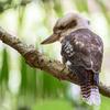 オーストラリアの鳥