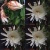 Gekkabijins bloom☆