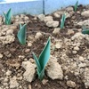【チューリップ畑計画⑤】発芽率100%達成!開花に向けて成長中