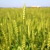 大麦は腸内細菌のヤセ菌を増やすダイエットに効果的