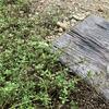 雑草対策のグランドカバー(3種類)