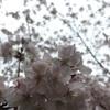 桜。桜。桜。桜。