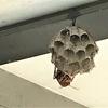 豊橋市でカーポートに巣を作っているアシナガバチを駆除してきました!