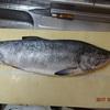 【鮭調理】2017/ 3.24(金)鮭を旨く食らうには!!【今日のオホーツク】