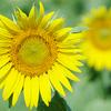 観光農園花ひろばの真夏のひまわり
