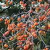 冬を目の前にして、甲府盆地には秋の豊かさがあります