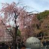 上野公園の花見、トラップとの戦い